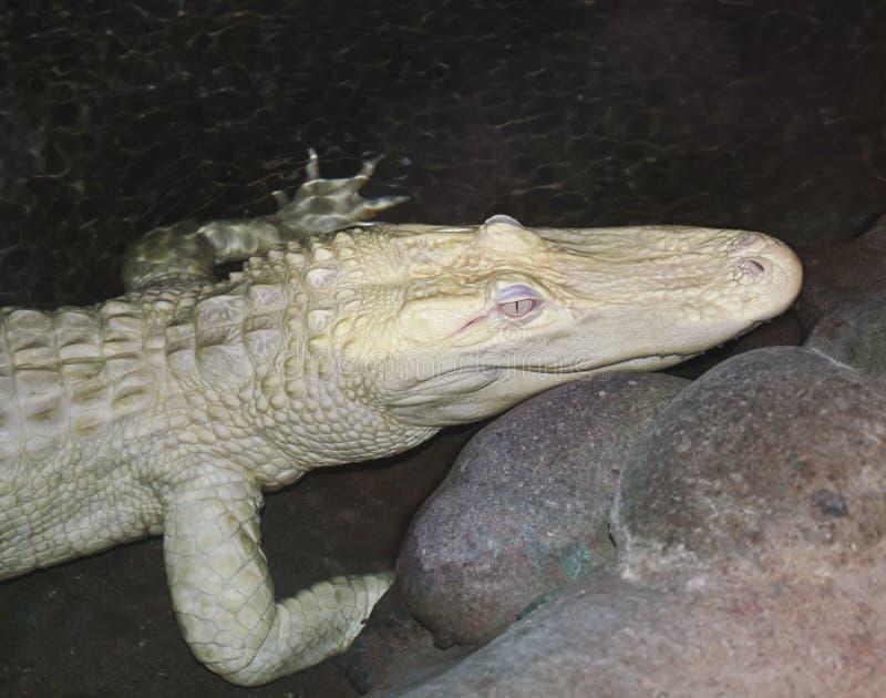 白变种鳄鱼美国人潜伏少见的晚上 免版税库存照片