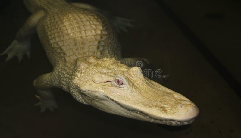 白变种鳄鱼美国人潜伏少见的晚上 免版税库存图片