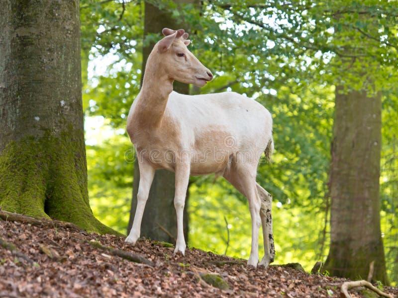 白变种鹿 免版税库存图片