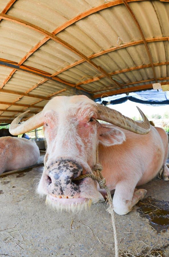 白变种水牛睡眠在农场 库存图片