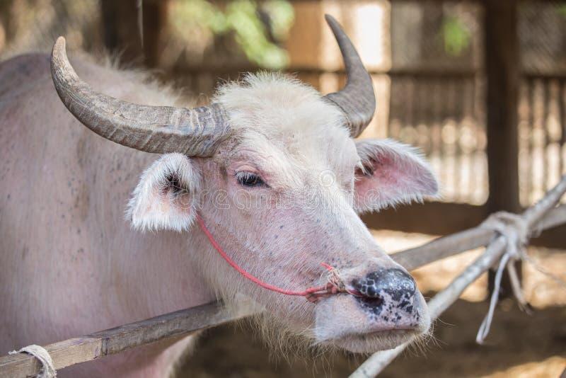 白变种水牛 免版税图库摄影