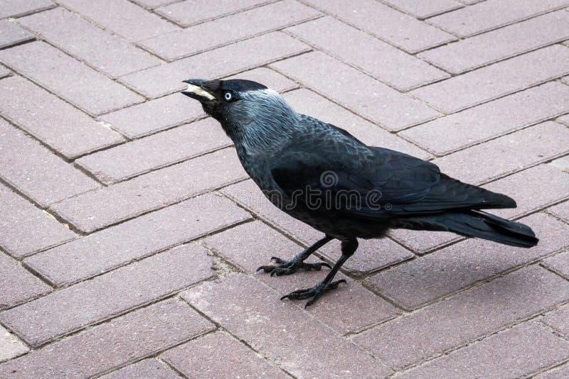 白嘴鸦'吃一些面包的乌鸦座frugilegus的 免版税库存图片