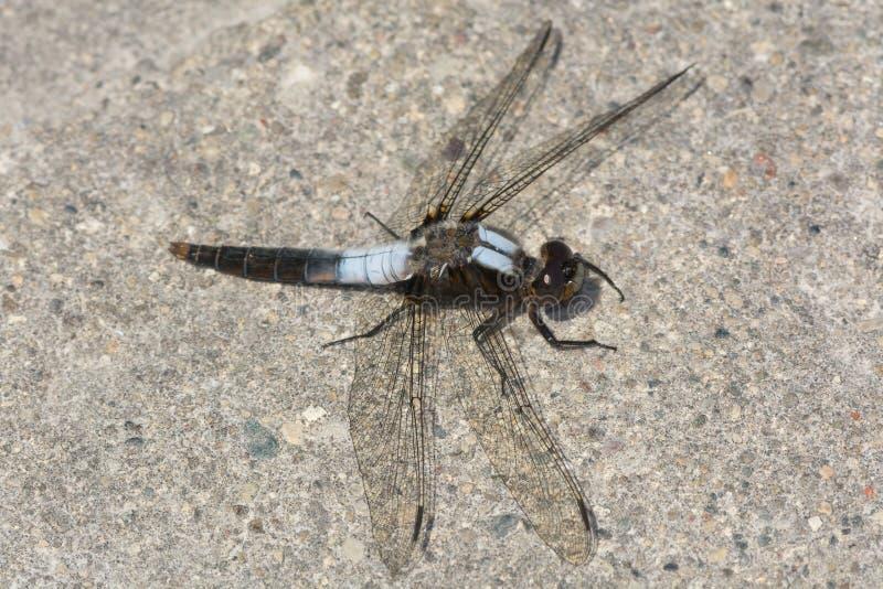 白垩朝向的伍长Dragonfly 免版税库存照片