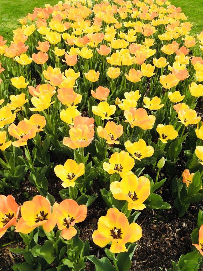 白天美丽的黄姑娘郁金香田的垂拍 免版税图库摄影