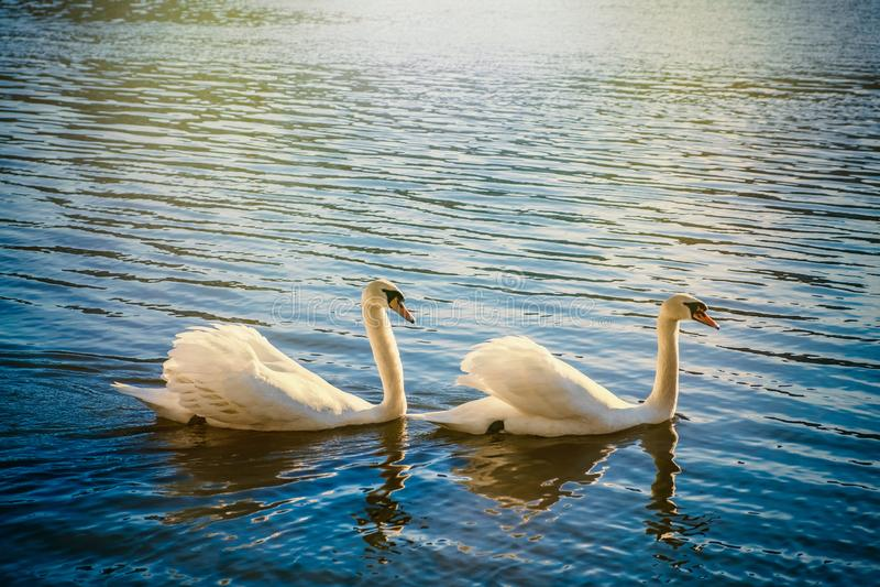 白天鹅 免版税图库摄影