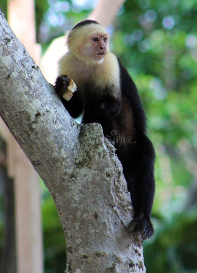 白头的连斗帽女大衣一手蜘蛛猴在哥斯达黎加 免版税库存图片
