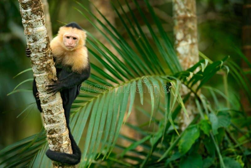 白头的连斗帽女大衣,黑猴子坐在哥斯达黎加的黑暗的热带森林野生生物的棕榈树分支 旅行Holida 库存图片