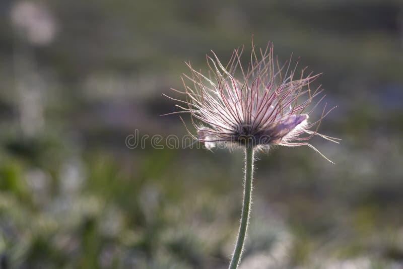 白头翁属taurica,毛莨科,春天孤零零狂放的草甸山花在可以在更低的高原Chatyr Dag 库存图片