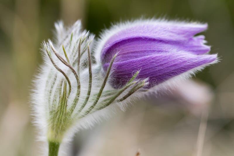 白头翁的美丽的特写镜头-银莲花属白头翁属-有好的被弄脏的背景 库存图片