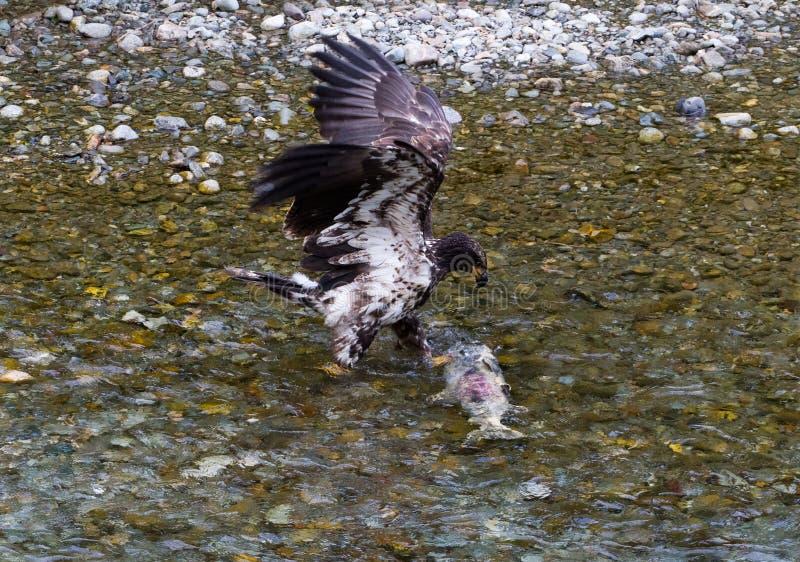 白头鹰传染性的三文鱼 库存照片