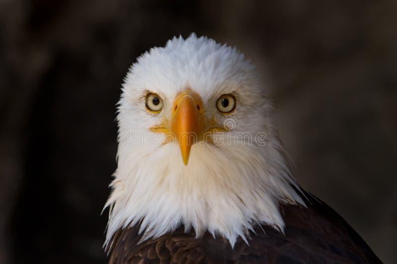 白头鹰关闭的纵向 免版税库存照片