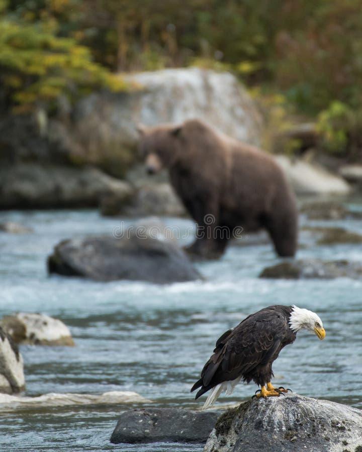 白头鹰和北美灰熊钓鱼 库存照片