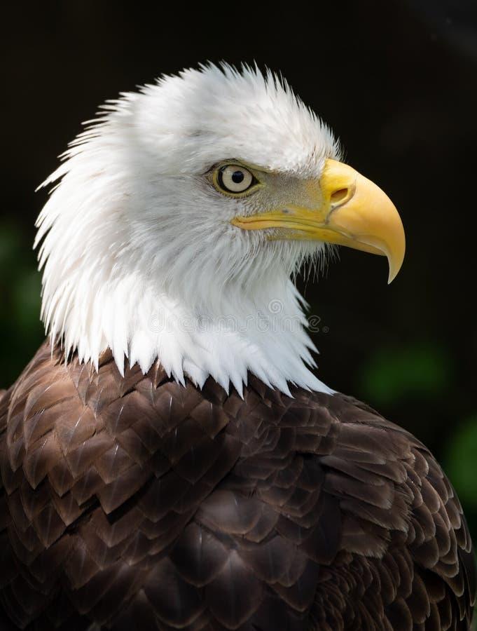 白头鹰在宾夕法尼亚 库存图片