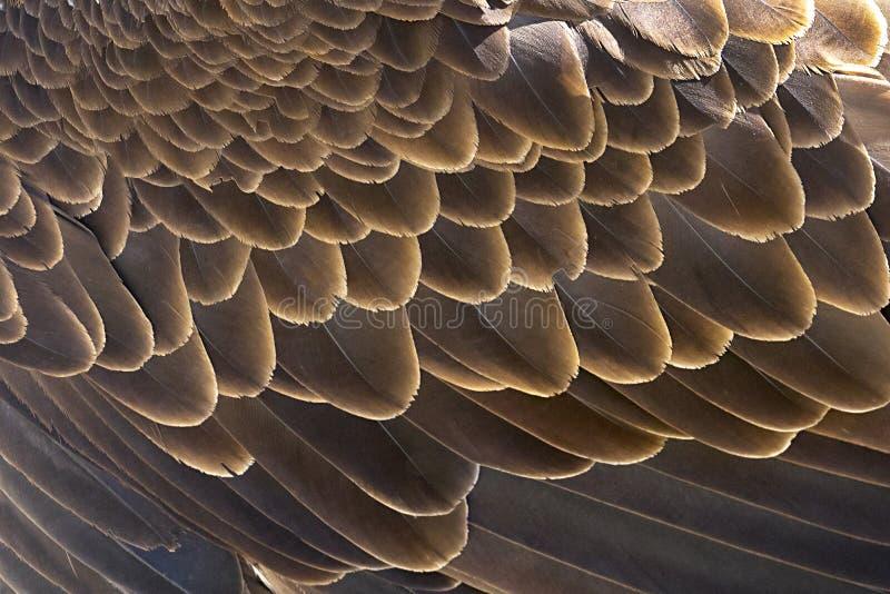 白头鹰翼用羽毛装饰背景 免版税库存图片