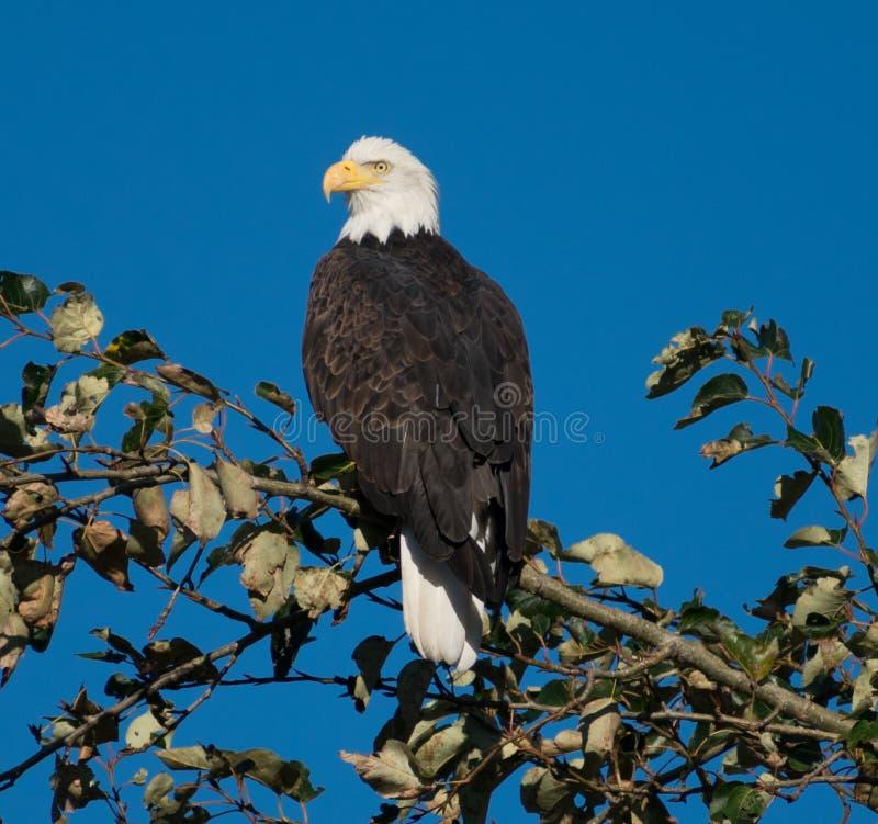 白头鹰被栖息的结构树 图库摄影
