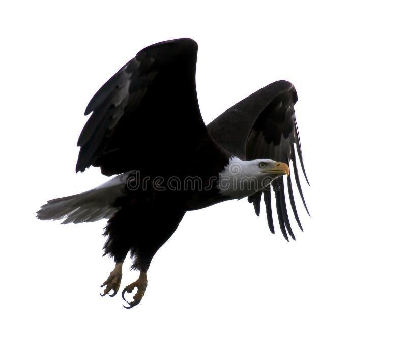 白头鹰飞行 皇族释放例证