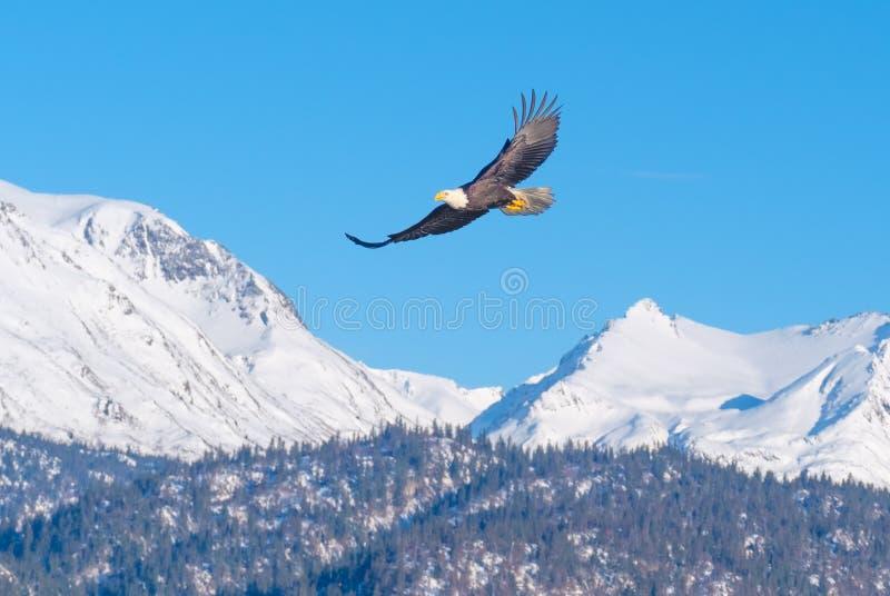 白头鹰,积雪覆盖的山,阿拉斯加 免版税库存照片