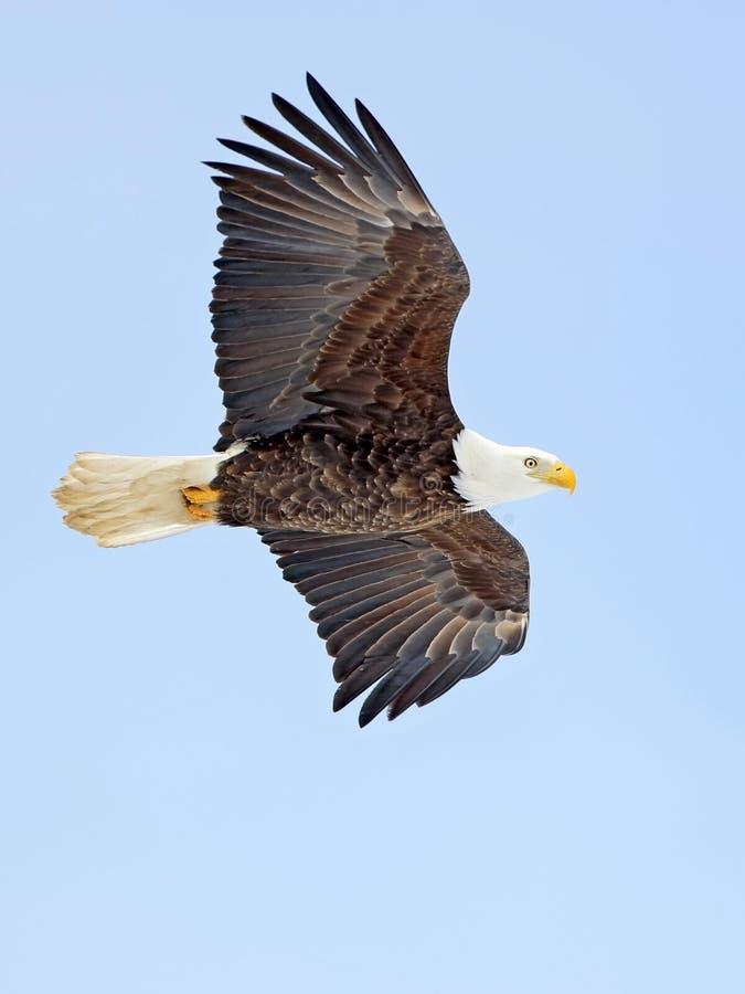 白头鹰,腾飞在蓝天的成人鸟,看对边 免版税库存照片