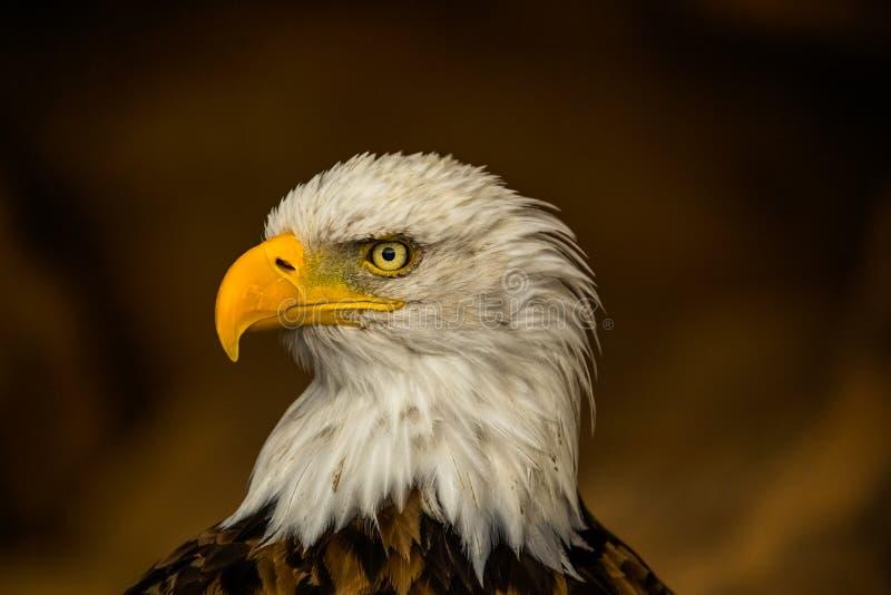 白头鹰,顶头关闭,美丽的黄色额嘴,骄傲的神色 免版税库存图片