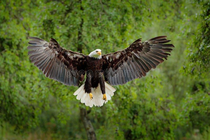 白头鹰, Haliaeetus leucocephalus,飞行的棕色鸷与白色头,黄色票据,团结的Stat的自由的标志的 免版税库存图片
