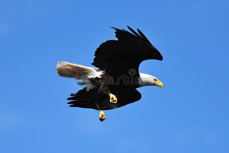 白头鹰 库存照片
