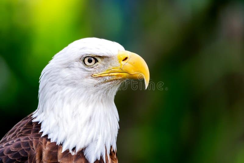 白头鹰Haliaeetus leucocephalus画象 库存照片