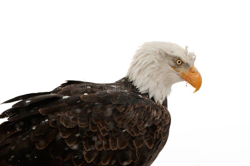 白头鹰haliaeetus leucocephalus纵向 库存照片