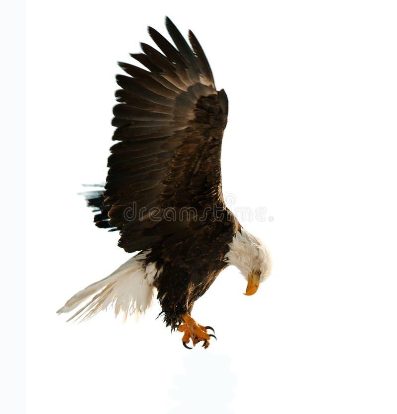 白头鹰haliaeetus leucocephalus 免版税库存图片
