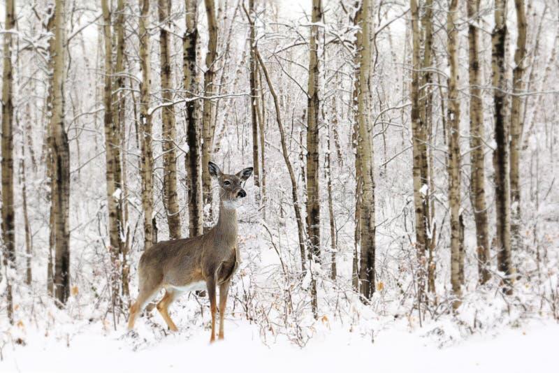 白尾雌鹿站在冬雪中 库存照片