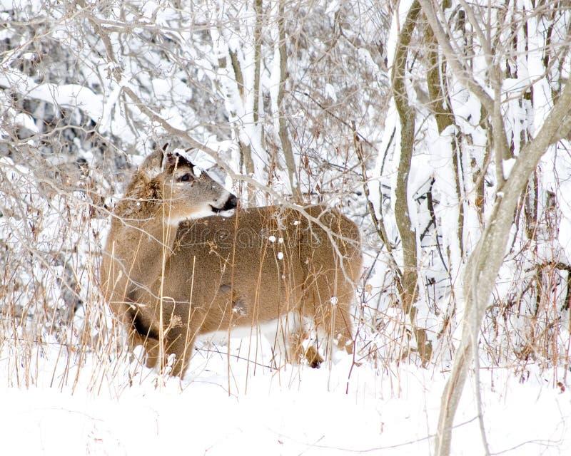 白尾鹿冬天 免版税库存图片