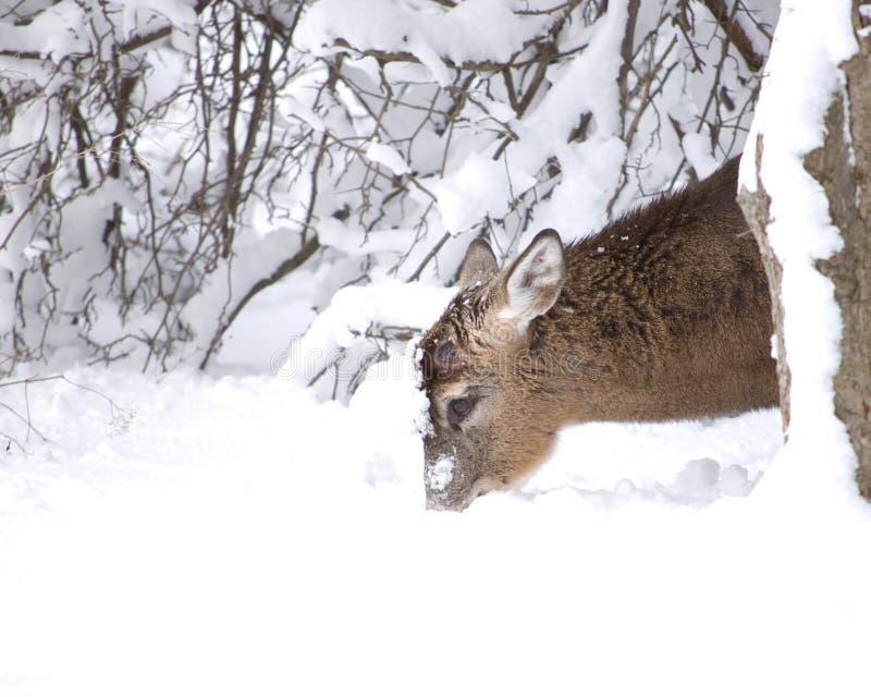 白尾鹿冬天 免版税库存照片