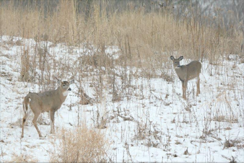 白尾鹿大型装配架和母鹿冬天有浮雕的贝壳 库存照片