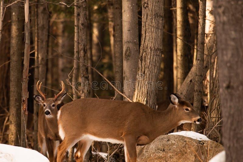 白尾鹿大型装配架和母鹿在rutting季节期间 库存图片