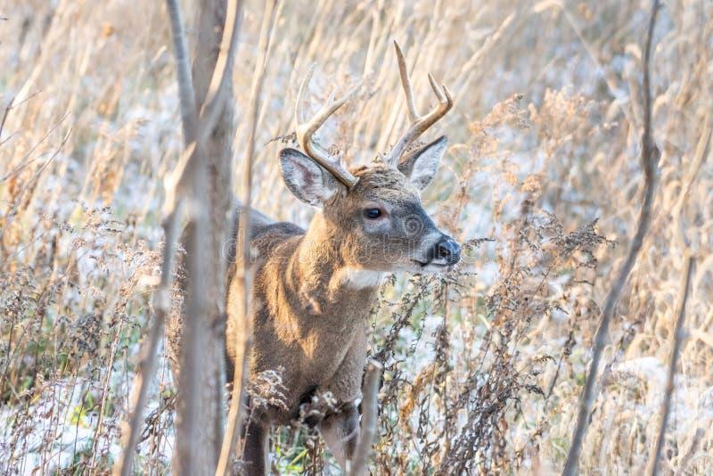 白尾鹿大型装配架在森林地 库存图片