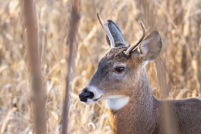 白尾鹿大型装配架在森林 免版税库存照片