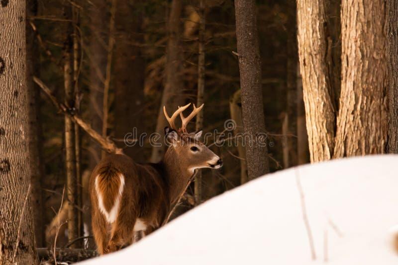 白尾鹿大型装配架在阿迪朗达克森林里 免版税库存图片