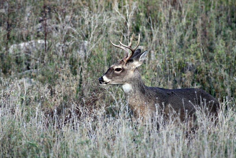白尾鹿大型装配架鹿在得克萨斯小山国家 免版税库存图片
