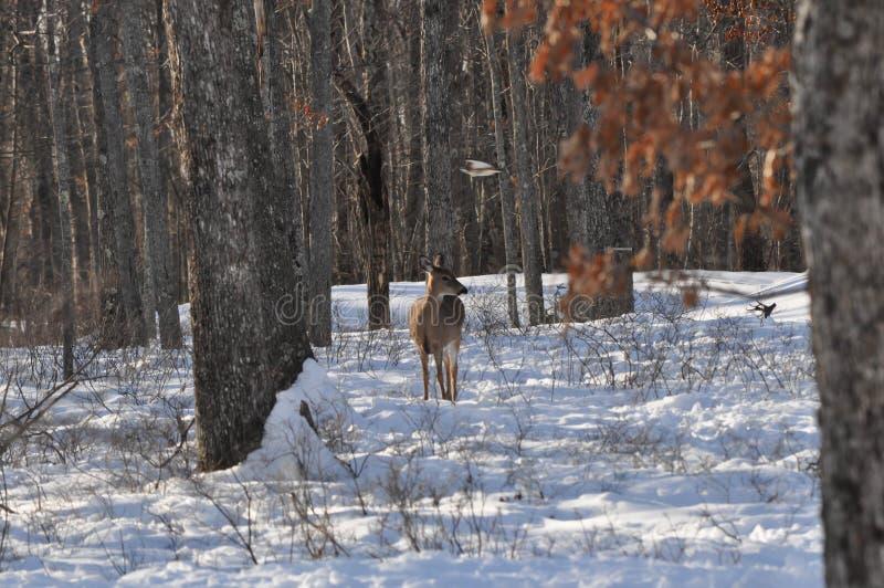 白尾鹿并肩作战在斯诺伊森林的母鹿鹿象鹰飞行在头顶上 库存图片