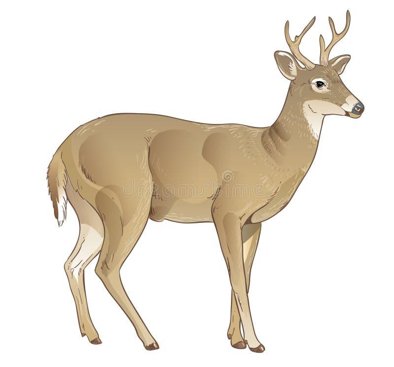 白尾鹿弗吉尼亚 向量例证