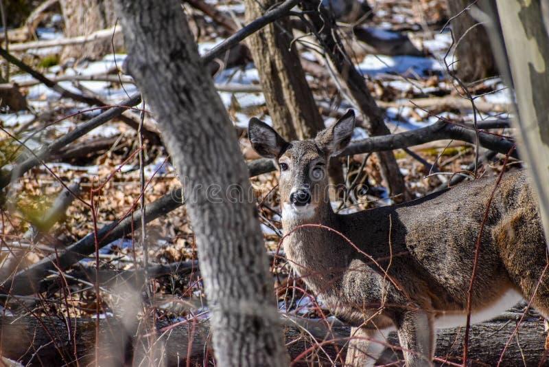 白尾鹿母鹿晚冬早期的春天 库存照片