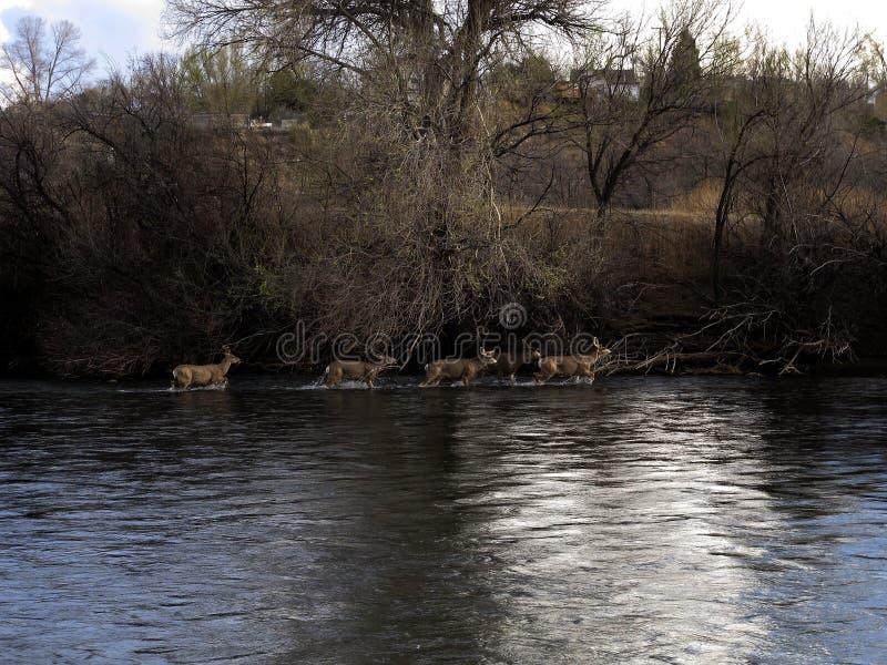 白尾鹿涉过在镇,科罗拉多附近的阿肯色河 库存图片