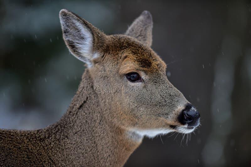 白尾鹿画象 免版税库存图片