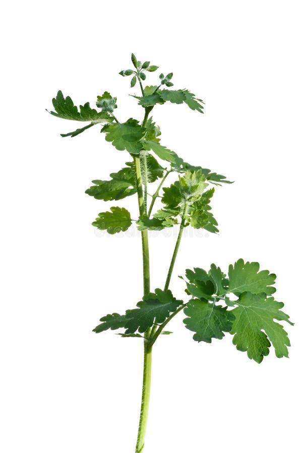 白屈菜植物 免版税库存照片