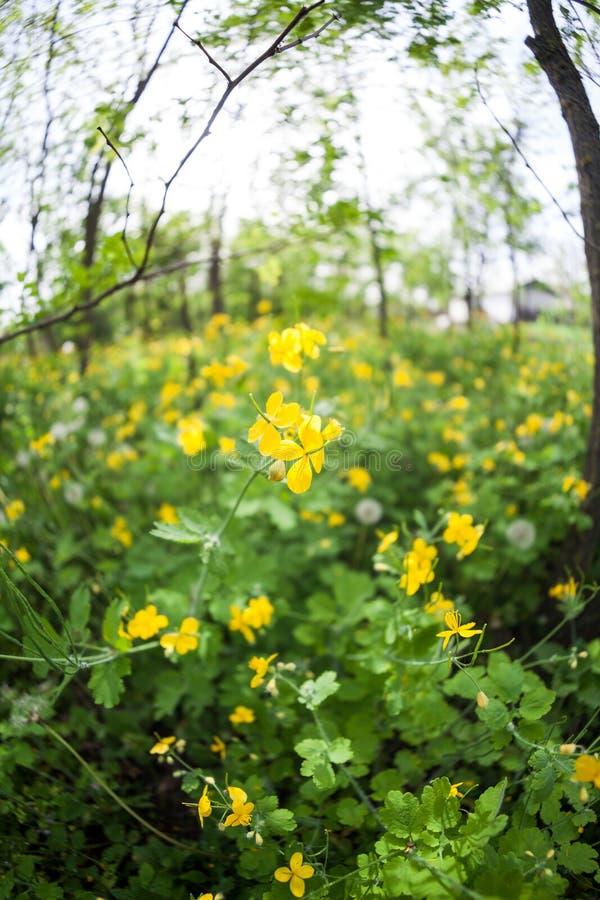白屈菜& x28; 白屈莱属majus& x29;植物和花在森林里 免版税库存图片