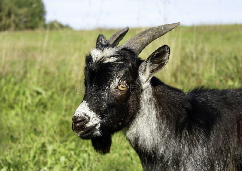 黑白山羊 免版税图库摄影