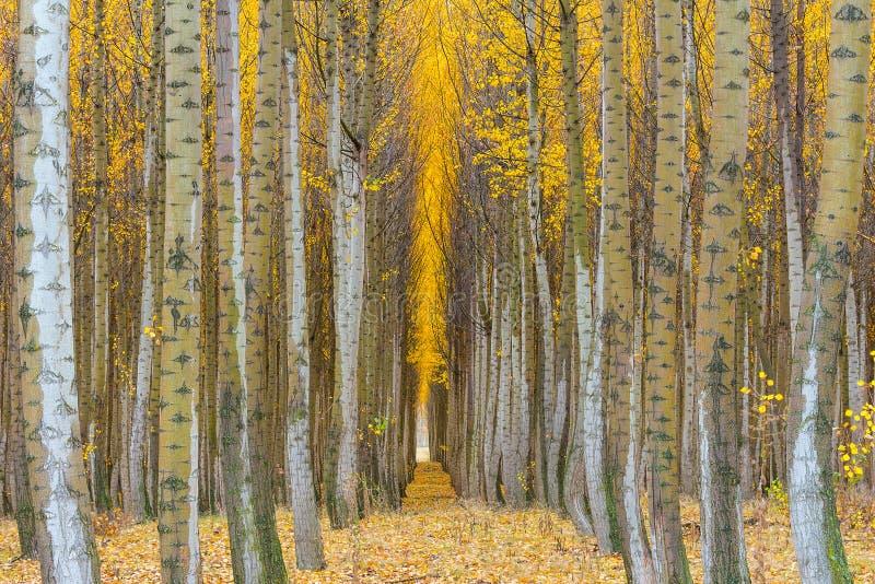 白扬树农场在秋天特写镜头的Boardman俄勒冈 库存图片