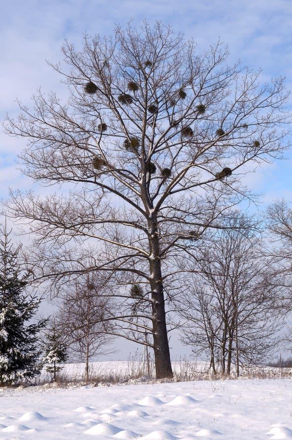 白扬树冬天 库存照片