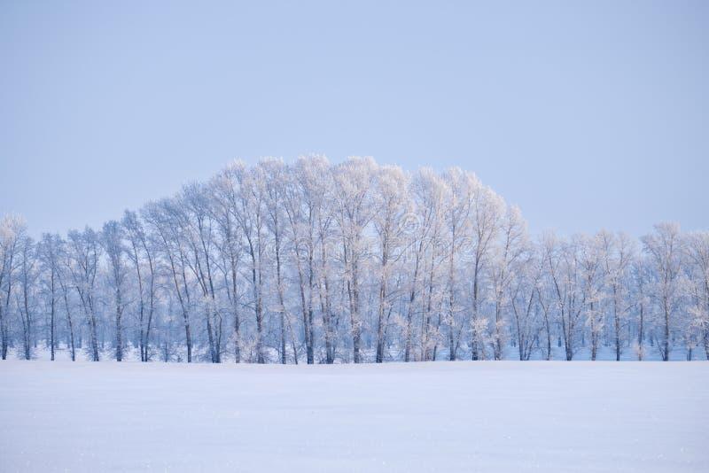 白扬树森林传送带在树冰下的在胜利的雪原 库存图片