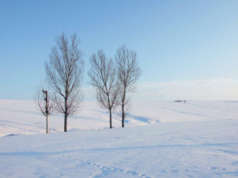白扬树 图库摄影