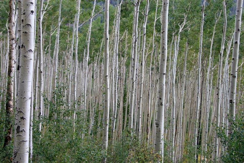 白杨木不尽的森林 库存照片